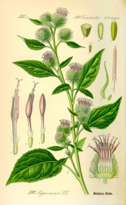 Illustration_Arctium_minor0